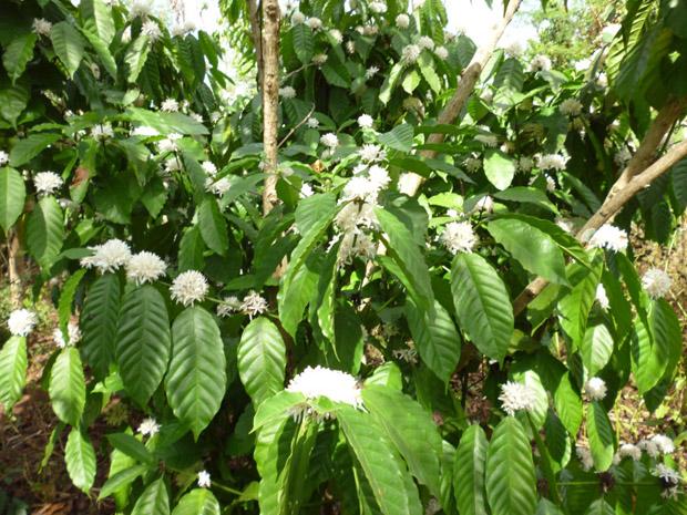 trồng cà phê